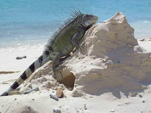 beachboy leguan strand beach