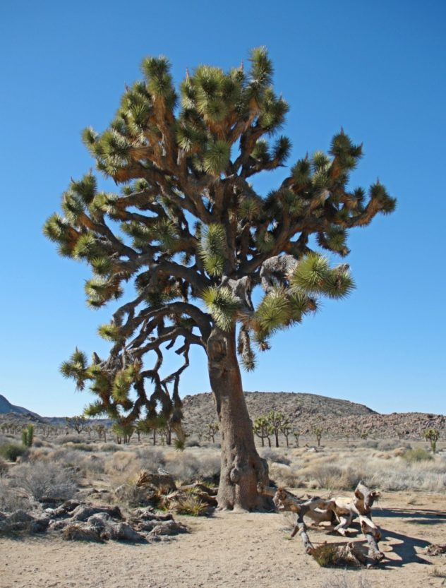 joshua tree im natioanlpark kalifornien