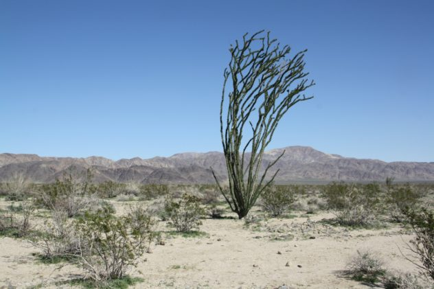 ocotillo joshua tree park